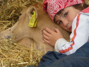 På Gyvelborg kan man kramme kalve